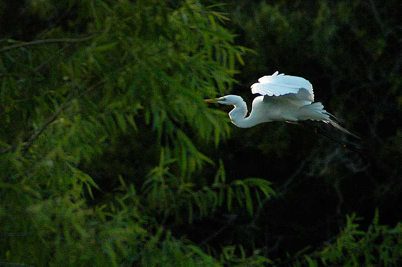 Giant Egret Flying Home