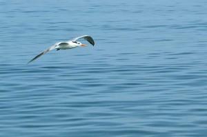 gull_flying
