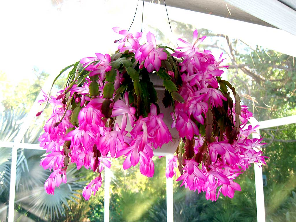 Christmas Cactus New Floridians