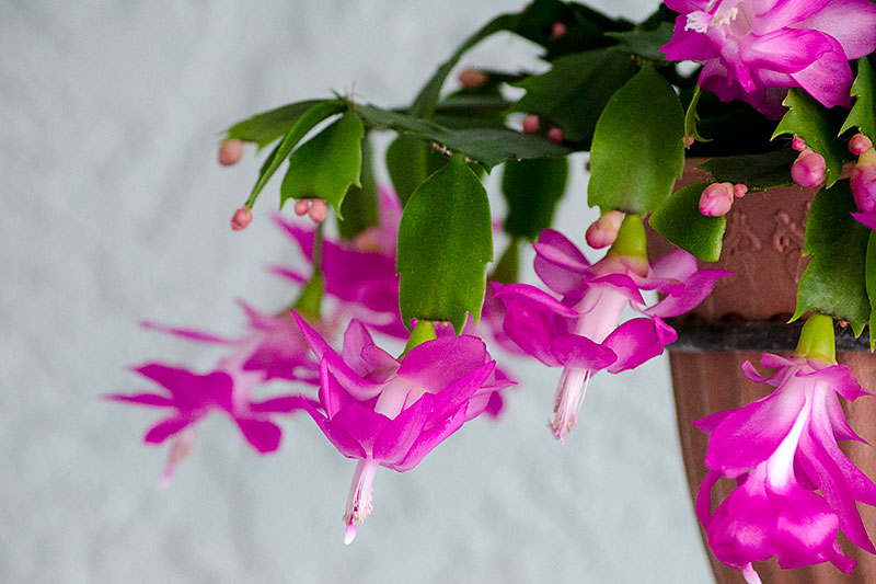 Christmas Cactus Bloom.Christmas Cactus New Floridians