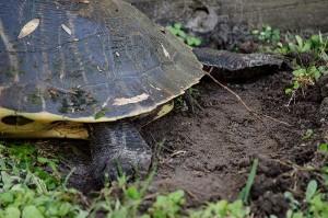 turtle_x3