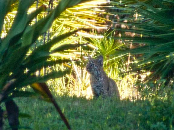 Bobcats in Our Backyard