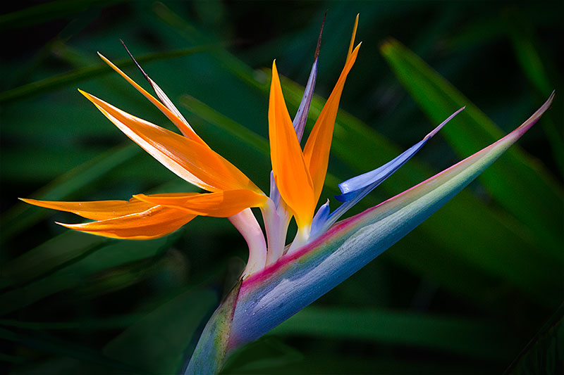 bird of paradise new floridians