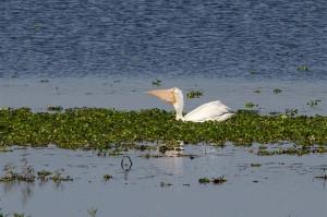 white_pelican3