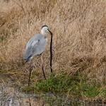 Heron_Eating